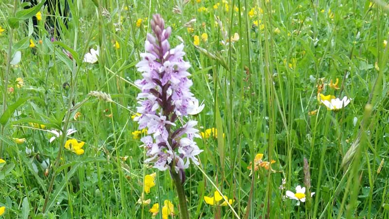 Biodiversity - Marston Road common spotted orchid