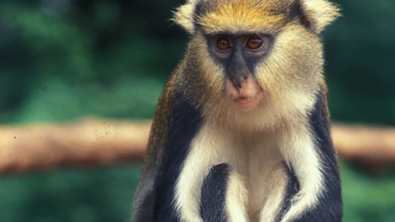 More about Old World Monkeys