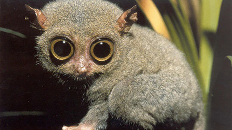 More about Tarsiers