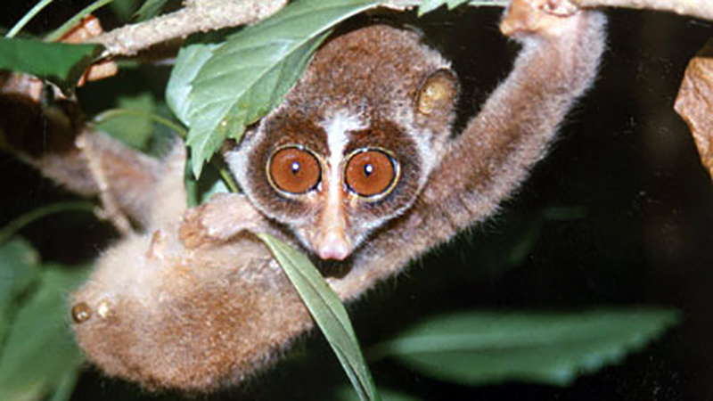 More about Lorises, Galagos and Pottos