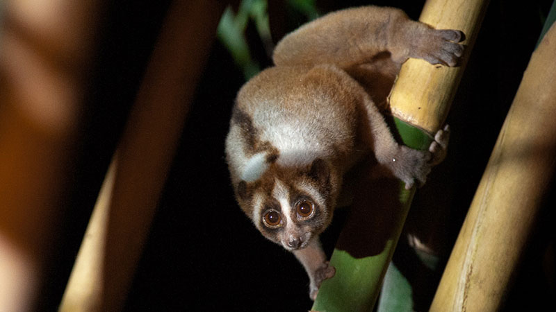 View Saving the Slow Loris
