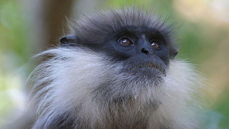 Spider monkey conservation in the Yucatan Peninsula, Mexico