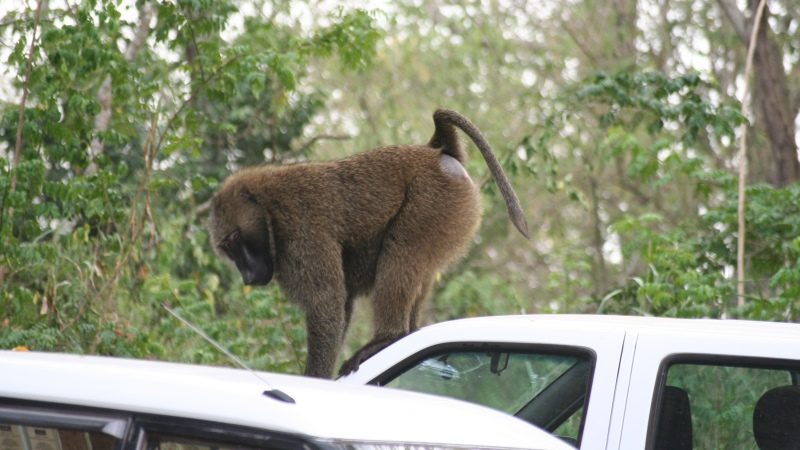 Baboon Car