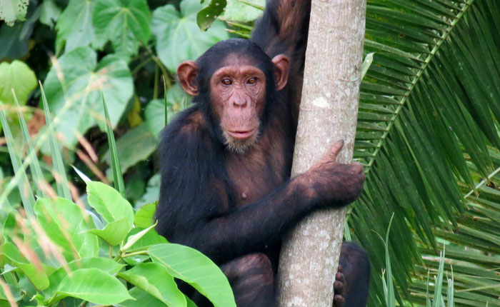 Research finds honey is a sweet treat for chimps during food droughts