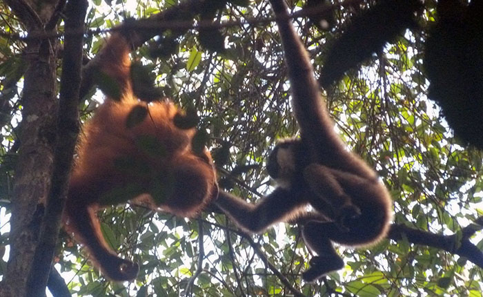 Rare footage of young orangutan and gibbon's playtime captured by Oxford Brookes postgraduate student