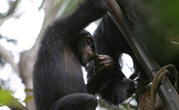 Wild chimpanzees drink alcohol using leafy tools, research finds