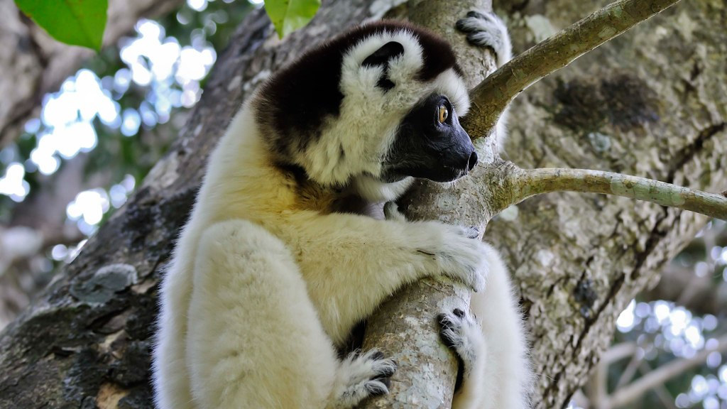 Lemurs and noctural primates carousel 6.jpg