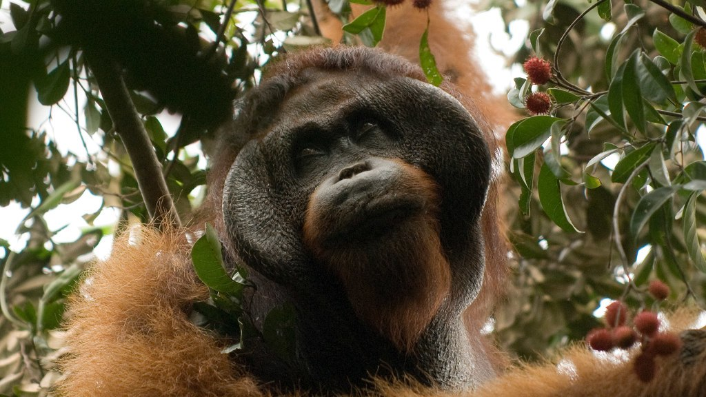 Primate Conservation Apes in the Anthropocene MSc Carousel1