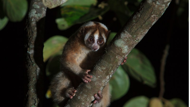 Slow Loris web