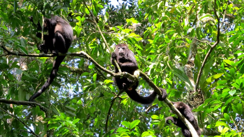 Territorial, expert navigators: the black howler monkeys of Mexico