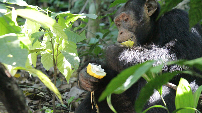 Cultivated cocoa spread by wild chimpanzees, research finds