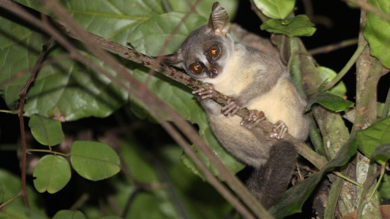Researchers reveal new species of primate from Africa�s Angolan rainforests