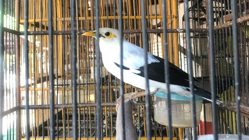 Indonesian songbird faces imminent extinction due to substantial numbers in domestic trade