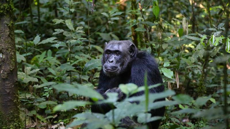 Chimpanzees take calculated risks to survive alongside humans