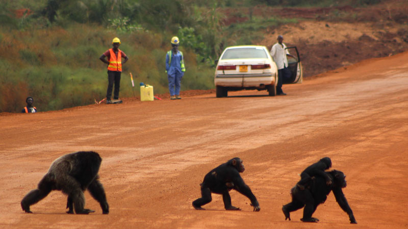 Chimpanzees crossing the road