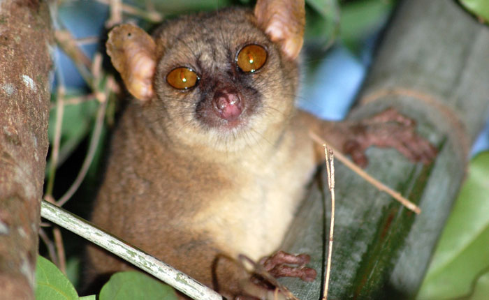 Research discovers true meaning behind the name 'Giant' Mouse Lemur