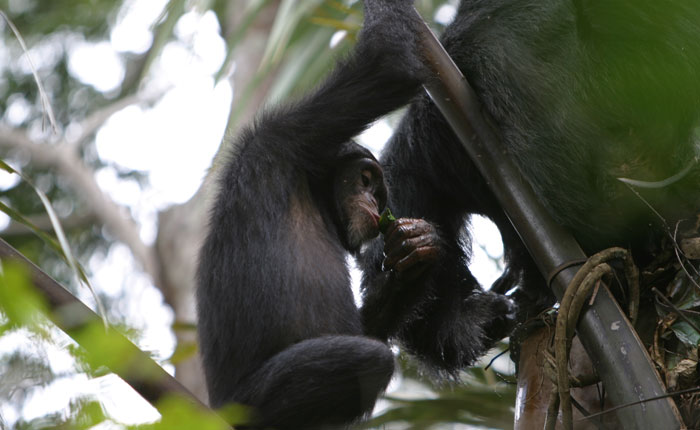 Chimpanzee drinking palm wine