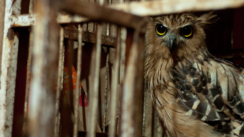 The 'Harry Potter effect' on the Indonesian owl trade