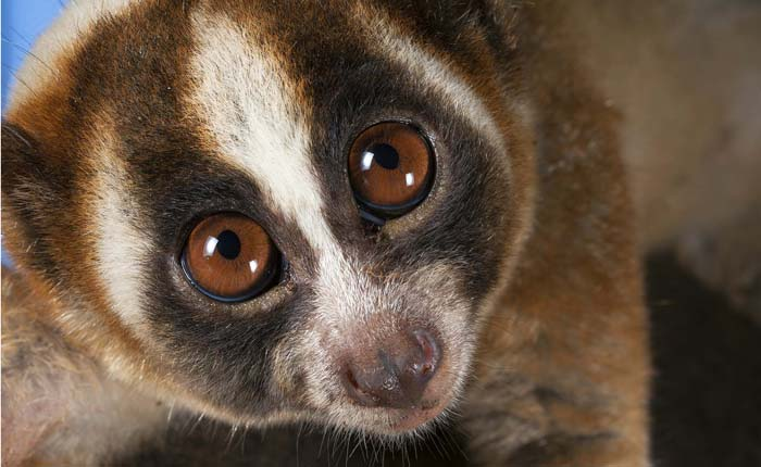 Slow Loris Outreach Week returns