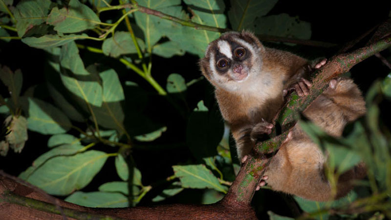 Slow Loris in wild 800x450