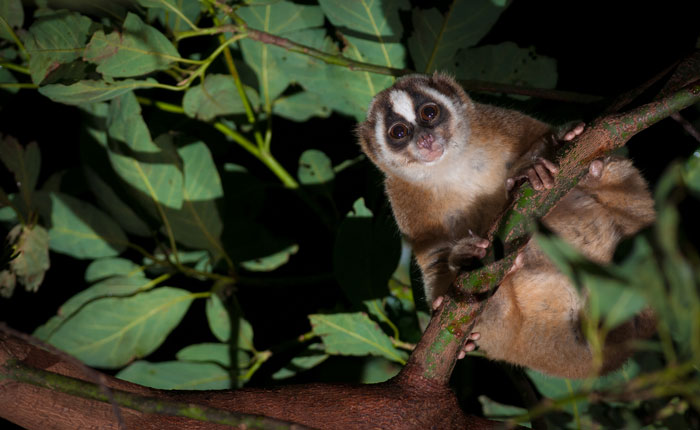 Research highlights Japan's role in illegal trade in threatened slow lorises