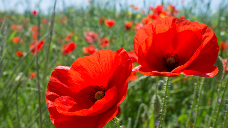 Views of Remembrance: Veterans' poetry and the biology and cultural power of the poppy