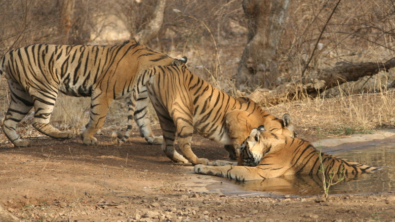 Tiger tracking in Ranthambhore