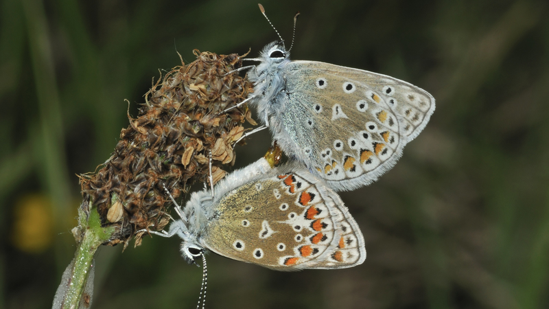 OLS 17-18: The intriguing world of butterfly biology
