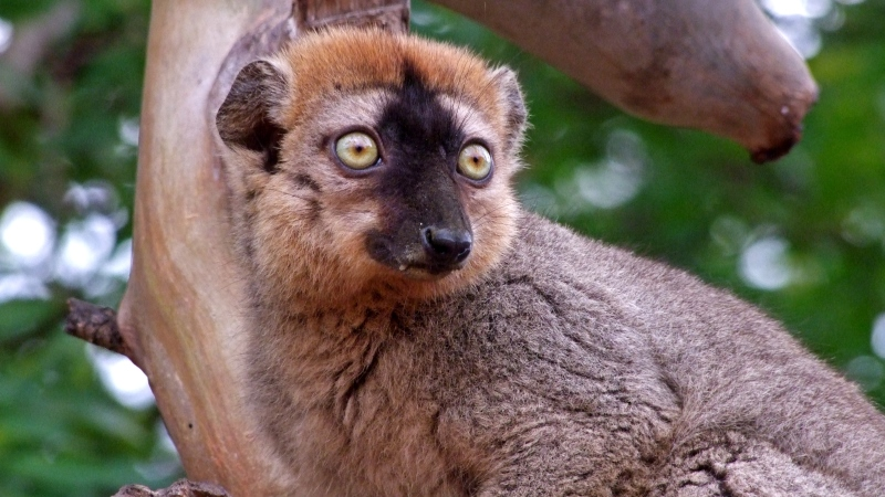 The uniqueness of lemurs is related to the quality of fruits in Madagascar