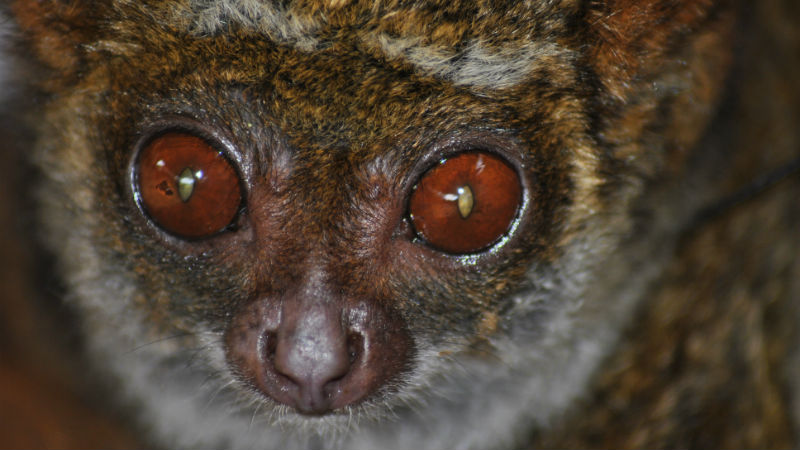 Investigating the evolution of leaf foraging senses in nocturnal lemurs